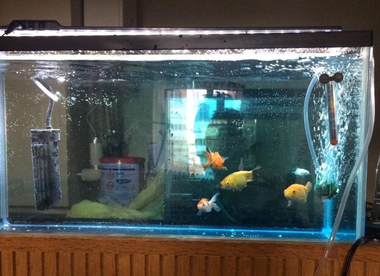 薬浴 金魚
