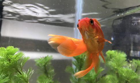 金魚 水草