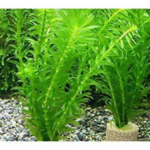 (水草)メダカ・金魚藻 ライフマルチ アナカリス(2個) 本州・四国限定[生体]